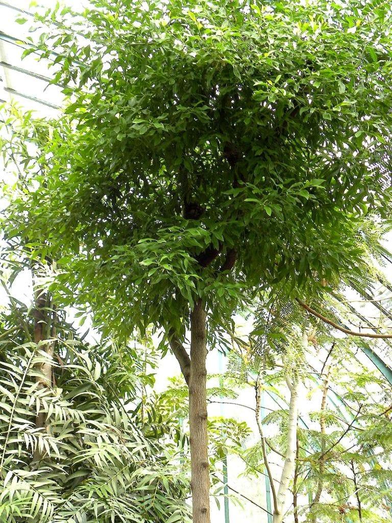 arbre de bois de santal